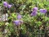 Soldanella alpina, Primulaceae