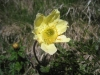 Schwefelanemone; Pulsatilla alpina, subsp.  apiifolia, Ranunculaceae