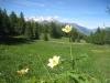 Schwefelanemonen in der Lichtung Diepja; Nesthorn, Aletschhorn, Gärsthorn