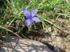 Fransen Enzian, Gentianopsis cilliata