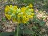 Frühlings- Schlüsselblume,  Primula veris, Primulaceae