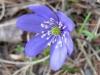 Leberblümchenm Hepatica nobilis, Hahnenfussgewächse, Ranunculaceae