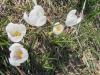 Crocus vernus subsp. albiflorus, Schwertliliengewächse