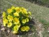 Frühlingsadonisröschen, Adonis vernalis; Ranunculaceae