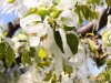Obstbaum im Wallis nach dem Frost