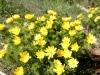 Adonisröschen, Adonis vernals, Ranunculaceae