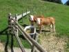 prächtige Kühe bei der Alphütte