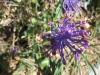 Schopfige Bisamhyazinthe (Muscari comosum). Asparagaceae