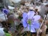 Leberblümchen, Hepatica nobilis, Ranunculaceae