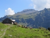 Kühe auf Vorderegg Oberstaffel 1840M; Foostock 2611m mit Glarner Hauptüberschiebung, Foostöckli 2611m