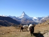 Walliser Geissen mit Matterhorn 4478m