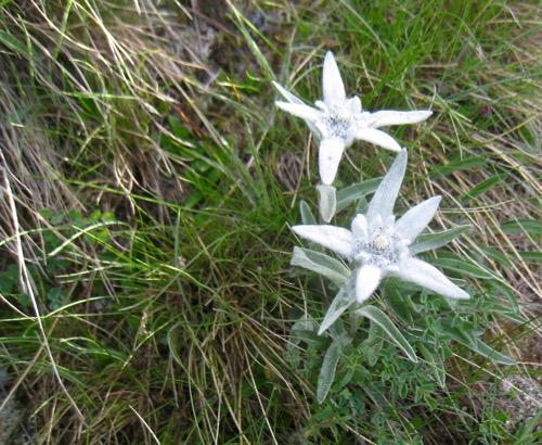 Alpen Edelweiss, Leontopodium nivale